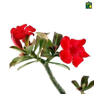 Adenium (Red)