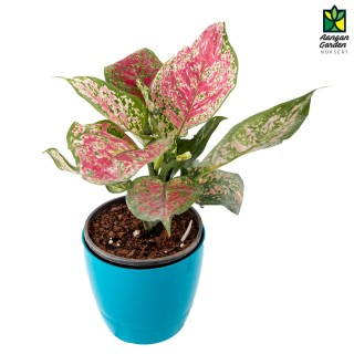 Aglaonema (Green-Pink)