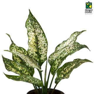 Aglaonema (Green)