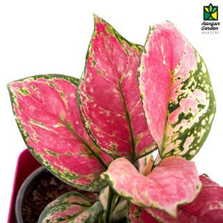 Aglaonema (Pink)