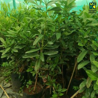 AllSpice Plant