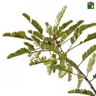 Amla (Grafted Plant)