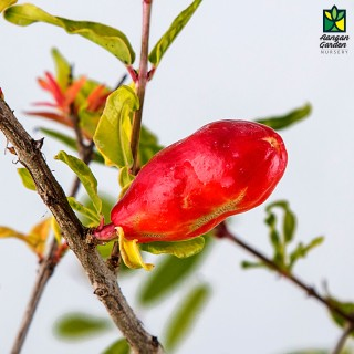 Anar (Pomegranate)