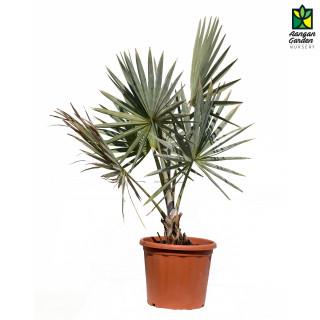 Bismarckia Palm