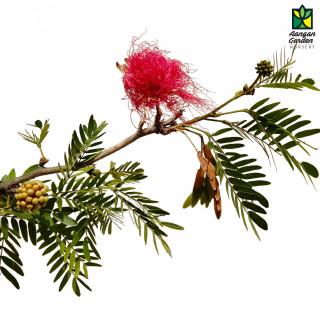 Calliandra (Powder Puff)
