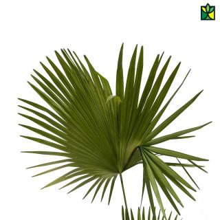 Chinese Fan Palm