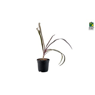 Crinum Lily Red (Small)