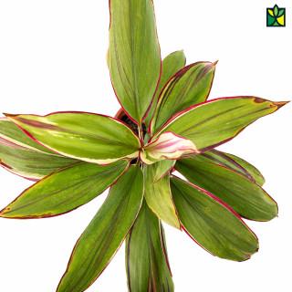 Dracaena (Green Red)