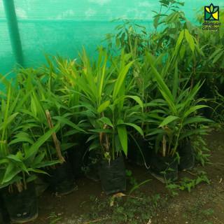Elaichi (Cardamom) Plant