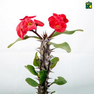 Euphorbia Red