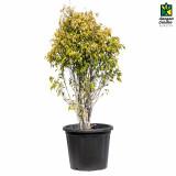 Ficus Reginald
