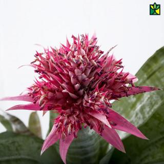 Guzmania (Pink)