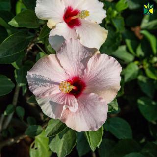 Hibiscus (Mix Colours)