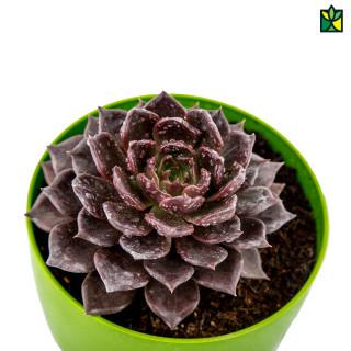 Kamal Cactus