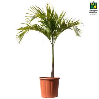 Mirchi Meri Green Palm