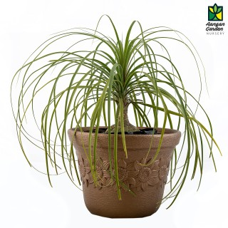 Nolina Palm - Ponytail Palm