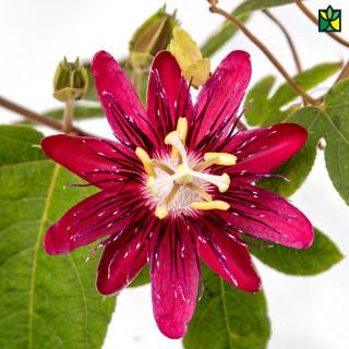 Passiflora (Rakhi Bel)