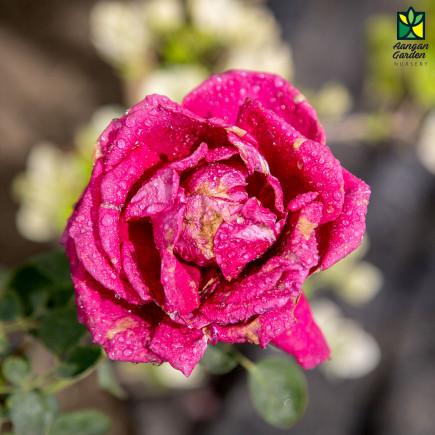 Kashmiri Rose