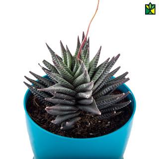 Zebra Succulent Plant